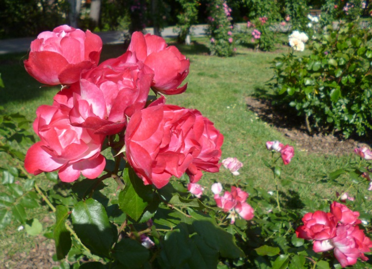 rose garden5