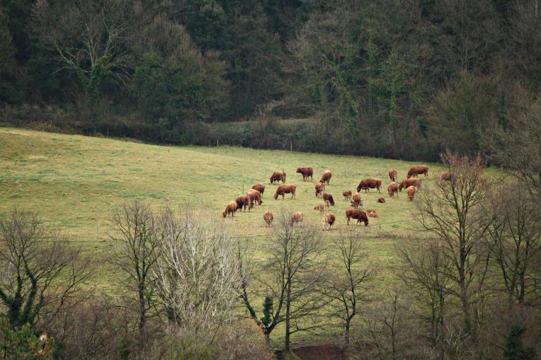 santa pau cows